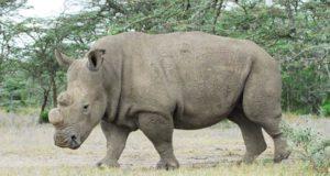 sudan the last rhino